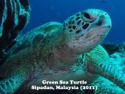 Green Sea Turtle 5.jpg
