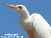Cattle Egret 1.jpg
