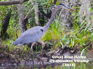 Great Blue Heron 3.jpg