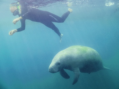Snorkeling with Florida Manatees in Homosassa