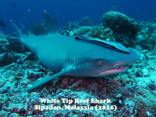 White Tip Reef Shark 2.jpg