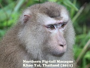 Pig Tail Macaque 6.jpg