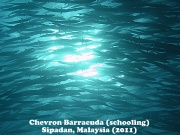 Chevron Barracuda 1.jpg