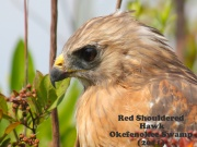 Red Shouldered Hawk 3.jpg