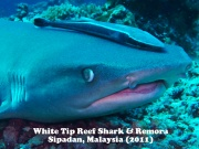 White Tip Reef Shark 4.jpg
