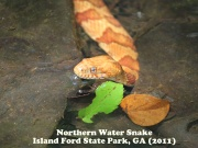 Northern Water Snake 2.jpg