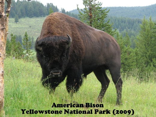 Bison - Click on photo to enlarge.