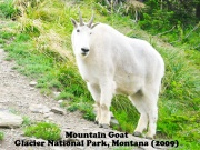 Mountain Goat 4.jpg