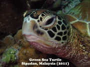 Green Sea Turtle 4.jpg