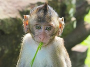 Crab-Eating Macaque 4.jpg