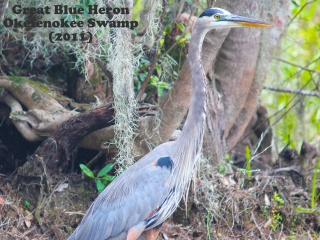 Great Blue Heron 4.jpg
