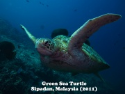 Green Sea Turtle 1.jpg