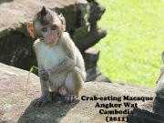 Crab-Eating Macaque 1.jpg