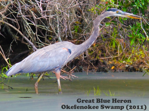 Great Blue Heron at Okefenokee Swamp